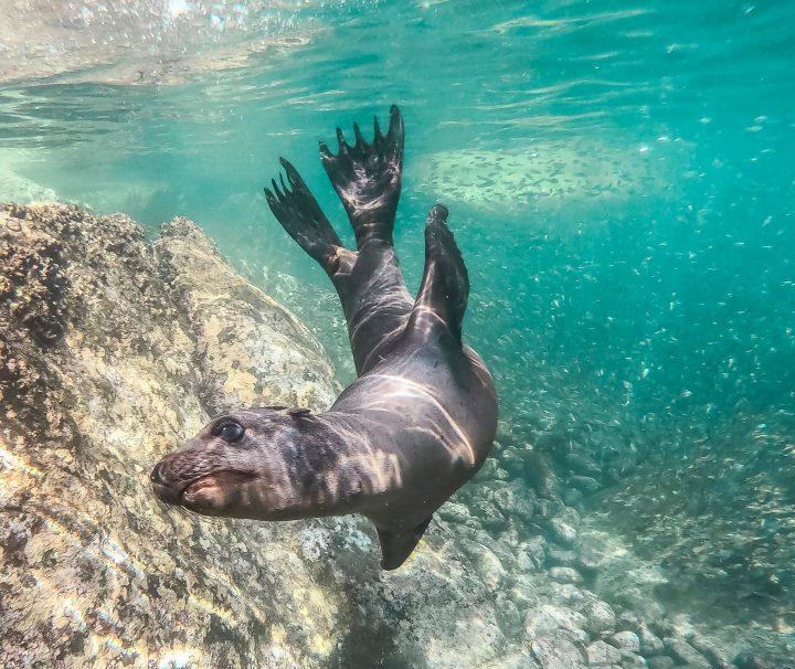 sea-lion-dive-cabo