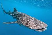 cabo-whale-shark-tour